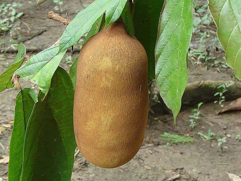 Colombian exotics fruits: Capuazu